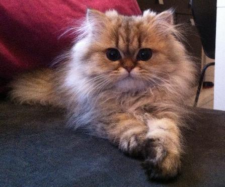 chatterie de la cit des ducs elevage de chat persan chinchilla et golden photo vid o. Black Bedroom Furniture Sets. Home Design Ideas
